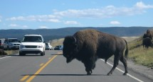 Bison have the right-of-way in Yellowstone.