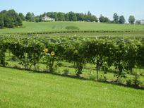 A vineyard in northern New York. [TD]
