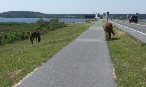 The northern section of Assateague Island, part of Maryland, is a national seashore. While the wild ponies are confined to certain areas at the Chincoteague National Wildlife Refuge, they roam freely everywhere on Assateague Island National Seashore. Here, two graze beside the bike path leading toward the visitor center across the bay on the mainland.