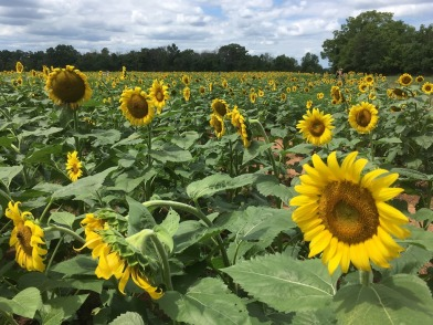 Some 30 acres of sunflowers bloom every July at McKee-Beshers Wildlife Management Area near Poolesville, Maryland, northwest of Washington, D.C.
