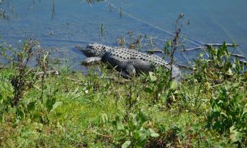 An alligator on the lakeshore in Chain of Lakes Park in Titusville...