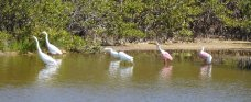 Egrets and roseate spoonbills at Merritt Island. I'm always excited to spot spoonbills. We never get to see them in Maryland.
