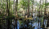 Trees with knees: A cypress swamp lies to the right as you cycle south.