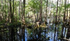 Trees with knees: A cypress swamp lies to the left as you cycle south.