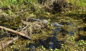 Momma gator rests nearby.