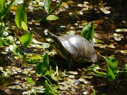This large turtle fled when a curious baby gator got too close.