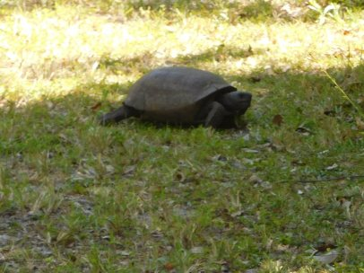 The trailside was pocked with the burrows of gopher tortoises.