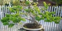 My favorite bonsai: a Brazilian Raintree, in training since 1979.