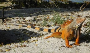 One afternoon while relaxing by the shore, I noticed I had company. Iguanas, another invasive species, are found throughout the Keys.