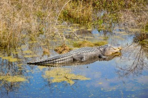 A large gator basking the shallows of Cypress Wetlands in Port Royal, SC.